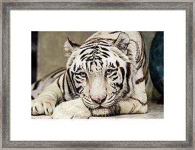 White Tiger Looking At You Framed Print