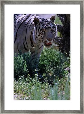 White Tiger Reno Nv Framed Print