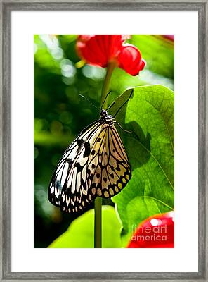 White Tree Nymph Butterfly 1 Framed Print