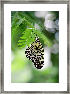 White Tree Nymph Butterfly 2 Framed Print by Marie Hicks