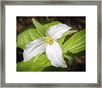 White Trillium Framed Print