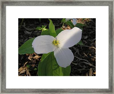 White Trillium Framed Print by Richard Mitchell