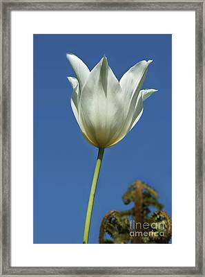 White Tulip And Blue Sky Framed Print by Terri Waters