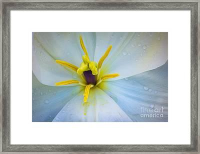 White Tulip Closeup Framed Print by Inge Johnsson
