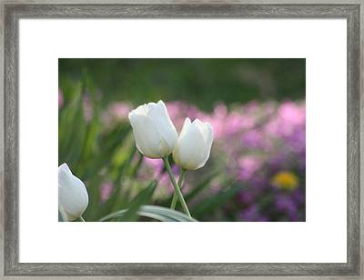 White Tulips Framed Print by Angie  Wise