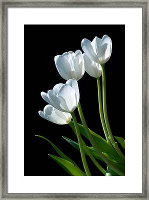 White Tulips Framed Print by Dung Ma