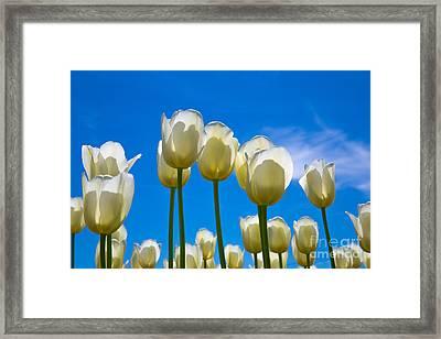 White Tulips  Framed Print by John Roberts