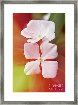 White Vinca With Vivid Highligts  Framed Print