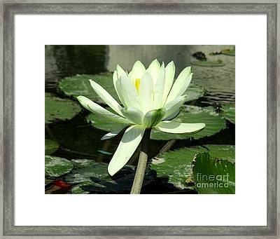 Framed Print featuring the photograph White Water Lily 1 by Randall Weidner