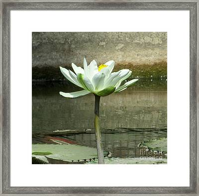 Framed Print featuring the photograph White Water Lily 2 by Randall Weidner
