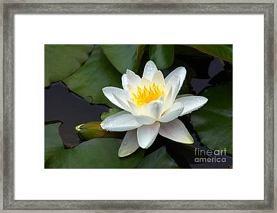 White Water Lily And Bud Framed Print by Susan Isakson