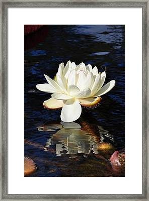 White Water Lily Framed Print by Andrea Everhard