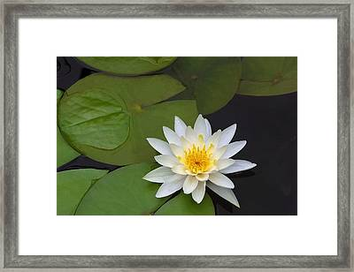 White Water Lily Framed Print by Linda Phelps