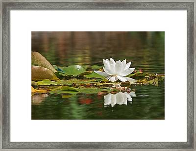 White Water Lily With Damselflies Framed Print