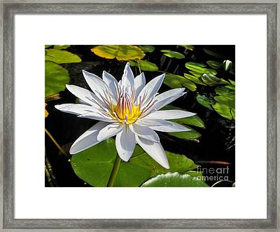 White Waterlily And Lily Pads By Kaye Menner Framed Print