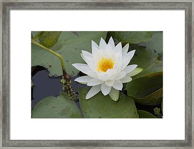 White Waterlily Framed Print by Linda Geiger