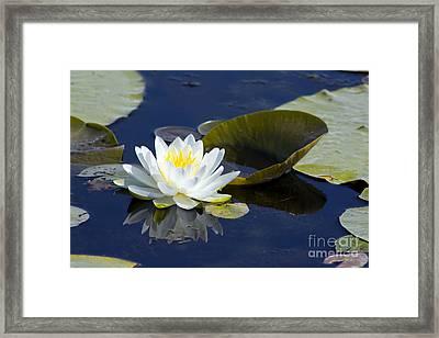 White Waterlily Framed Print