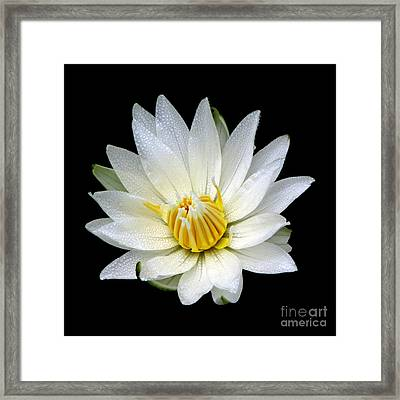 White Waterlily With Dewdrops Framed Print by Rose Santuci-Sofranko