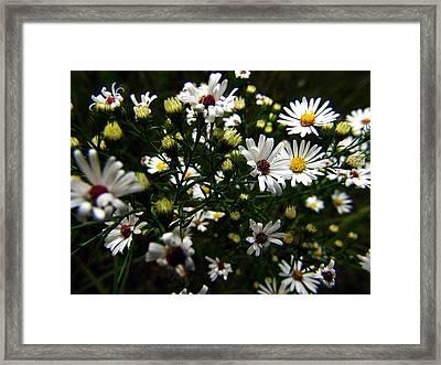White Wild Aster Framed Print by Scott Hovind
