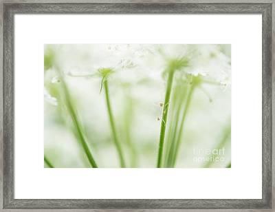 Queen Ann's Lace Closeup  Framed Print
