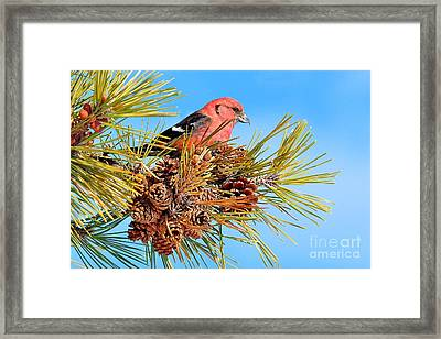 Framed Print featuring the photograph White-winged Crossbill by Debbie Stahre