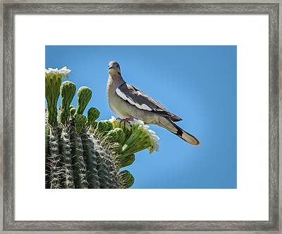 White Winged Dove On Cactus Flower Framed Print by Penny Lisowski