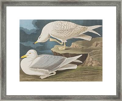 White-winged Silvery Gull Framed Print by John James Audubon
