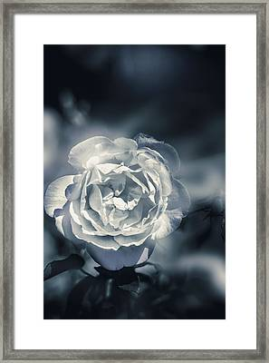 White Winter Rose Wilting In A Blue Gloomy Field Framed Print