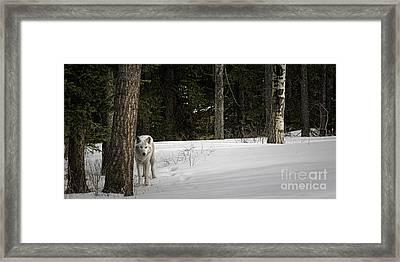White Wolf Framed Print by Brad Allen Fine Art