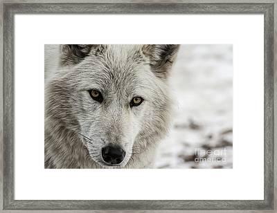White Wolf II Framed Print