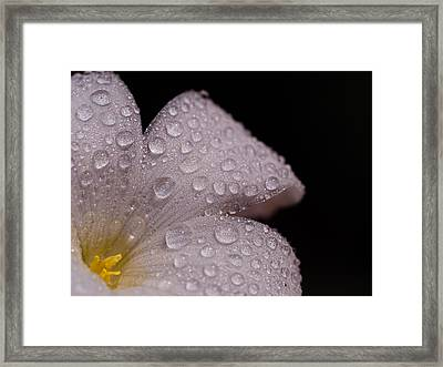 White Wood Sorrel Framed Print