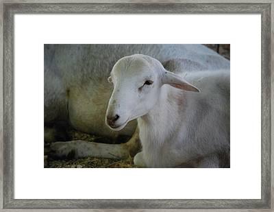 White Wool Framed Print by Lakida Mcnair