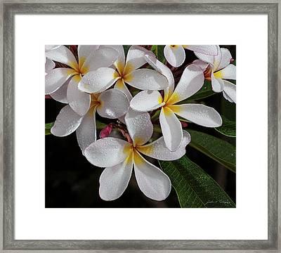 White/yellow Plumerias In Bloom Framed Print