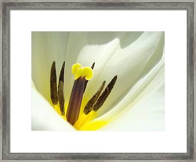 White Yellow Tulip Flower Fine Art Prints Framed Print