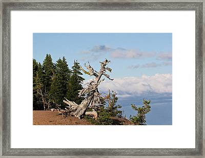 Whitebark Pine At Crater Lake's Rim - Oregon Framed Print by Christine Till
