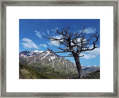 Whitebark Pine Framed Print