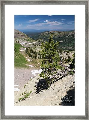 Whitebark Pine On Mountain Ridge Framed Print