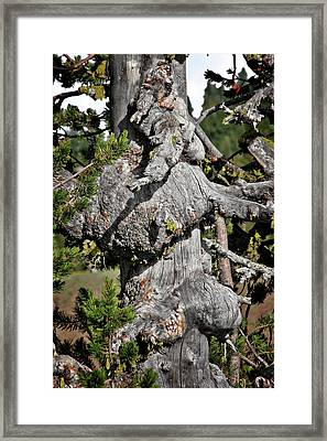 Whitebark Pine Tree - Iconic Endangered Keystone Species Framed Print