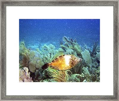 Whitespotted Filefish Framed Print by Steve Carpenter