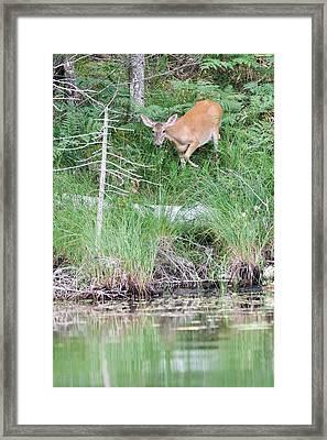 Whitetail At Sage Lake Framed Print