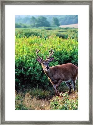 Whitetail Buck After A Run Framed Print by Thomas R Fletcher