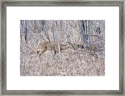 Framed Print featuring the photograph Whitetail Deer 1171 by Michael Peychich