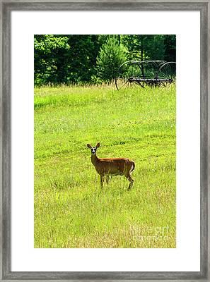 Whitetail Deer And Hay Rake Framed Print