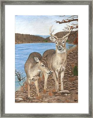 Whitetail Deer At Lake Wilson Framed Print by Courtney Trimble
