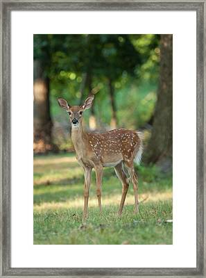 Whitetail Deer Fawn Framed Print by Erin Cadigan