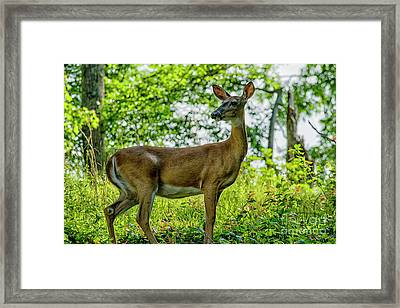 Framed Print featuring the photograph Whitetail Deer  by Thomas R Fletcher