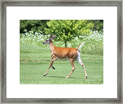 Whitetail Doe On The Run Framed Print by Steve Gass