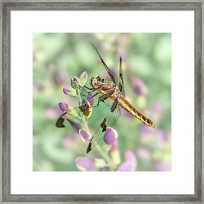 Whitetail Dragonfly On False Indigo 2 Framed Print