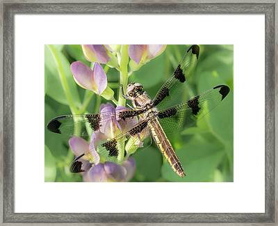 Whitetail Dragonfly On False Indigo Framed Print by Jim Hughes
