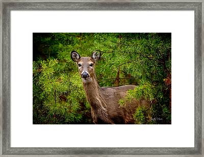Whitetail In The Pines Framed Print